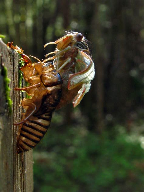 cicada shedding its exoskeleton prepare for the virginia cicada of 2016