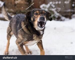 barking enraged angry dog outdoors looks