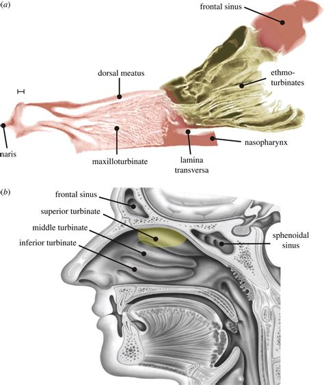 Nasal Airflow Diagram by The Fluid Dynamics Of Canine Olfaction Unique Nasal