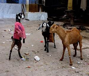 Light Up Christmas Dress In India Goats Dress Up In Sweaters During Winter