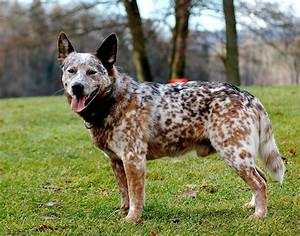 Red and blue heeler | Natural History