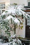 Wieviel Frost Verträgt Die Obstblüte : winterschutz f r palmen palmen ratgeber palme per paket ~ Frokenaadalensverden.com Haus und Dekorationen