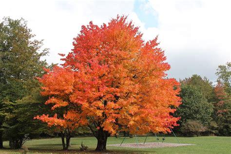 maple tree the cultess alura a little bit of this a little bit of that a lot of real life