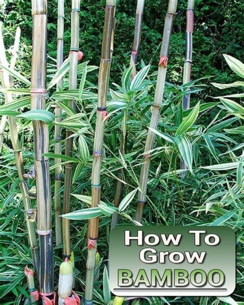 how to grow bamboo 17 best images about bamboo on pinterest recycling how to plant bamboo and growing bamboo