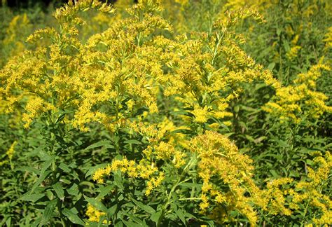 ragweed pictures yellow flower days in the spruce tunnel the spruce tunnel