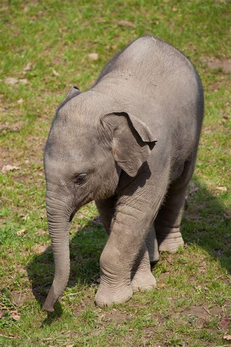 baby elephant  stock photo public domain pictures