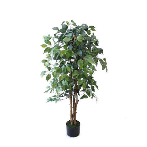large ficus tree ficus tree 1 2m ebay 3651