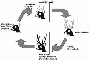 Antler Cycle In Adult And Yearling Pampas Deer Males