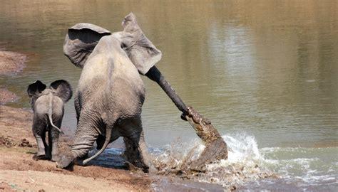 amazing moment  elephant  surprised   crocodile