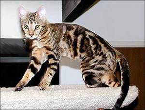 Marbled Tabby Bengal