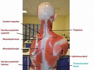 Superficial muscles of the back & Thoracic wall | YEDİTEPE ...  Superficial