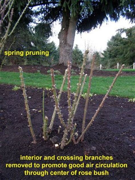 cutting bushes back cutting back rose bushes yardage pinterest