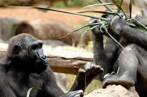 Was Essen Ameisen : ape versucht ameisen mit einer langen gras stroh zu ~ Lizthompson.info Haus und Dekorationen