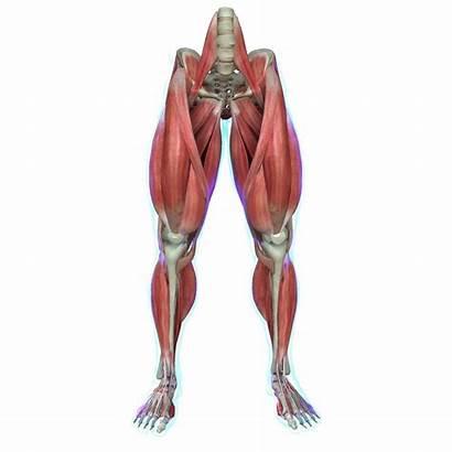 Leg Anatomy Muscles Muscle Human 3d Medical