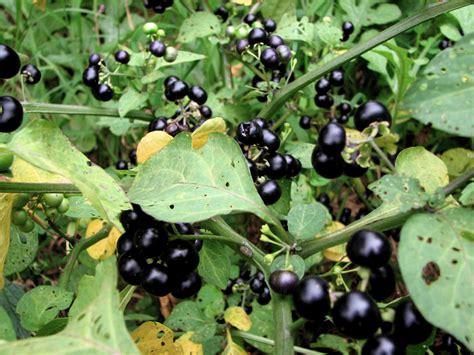 garden berries huckleberry plant