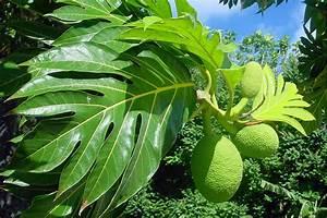 Arbre A Fruit : uru le fruit de l 39 arbre pain de tahiti tahiti heritage ~ Melissatoandfro.com Idées de Décoration