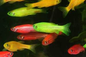 Image Gallery neon danio fish