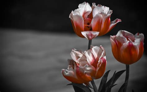 tulip hd wallpapers backgrounds wallpaper abyss