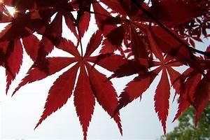 Rote Blätter Baum : kostenlose foto baum ast blatt bl tenblatt rot ~ Michelbontemps.com Haus und Dekorationen