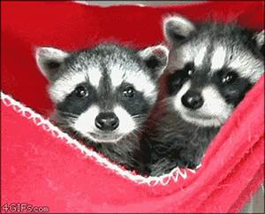 baby racoons in pocket yawning gif | WiffleGif