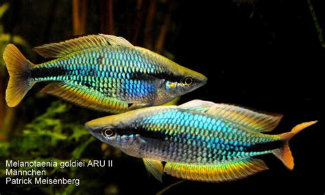 melanotaenia picta goldiei aru ii rainbowfishstable