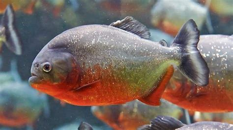 horrifying facts  piranhas
