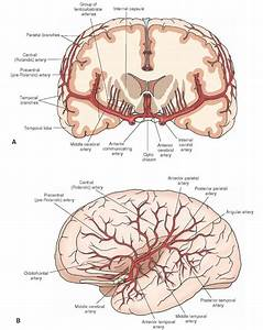Major Branches Of The Middle Cerebral Artery   A  Coronal