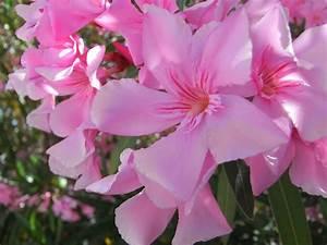 Flower Homes  Nerium Oleander Flowers