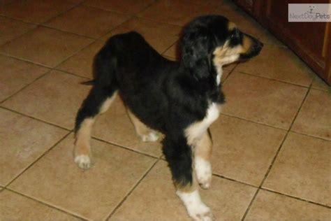 meet jasmine  cute afghan hound puppy  sale