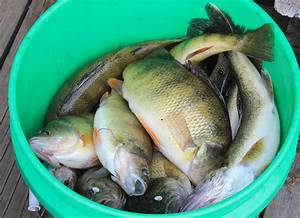 Top Water Bass Fishing About To Peak