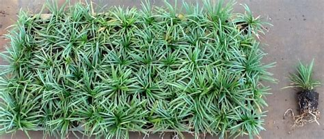 Planting Dwarf Mondo Grass Pictures To Pin On Pinterest