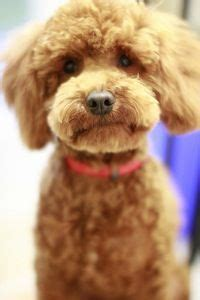 brown curly hair dog google search love  animals