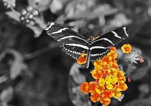 Zebra Butterfly Selective Color
