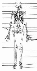 Unlabeled Human Skeleton Diagram   Unlabeled Human Skeleton Diagram Blank Human Skeleton Diagram
