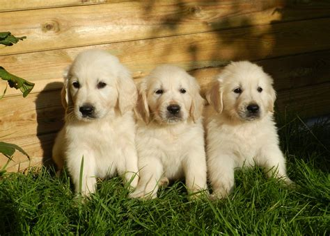Golden Retriever Puppies Everything You Need To Know