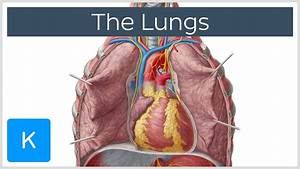 Lungs  Definition  Location  U0026 Structure