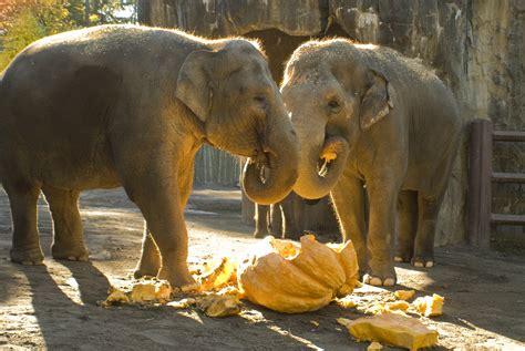 elephant cuisine elephants page 9 oregon zoo