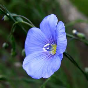 Flax Plant Flowers