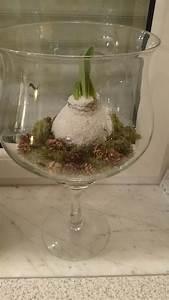 Amaryllis In Wachs : gewachste amaryllis gedeiht ohne gie en an einem warmen ~ A.2002-acura-tl-radio.info Haus und Dekorationen