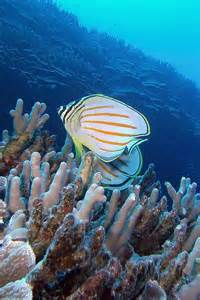 Butterfly Fishes of Hawaii Pictures