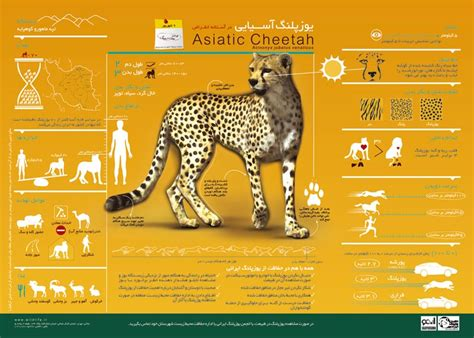 cheetah   asiatic cheetah  call  reinstate
