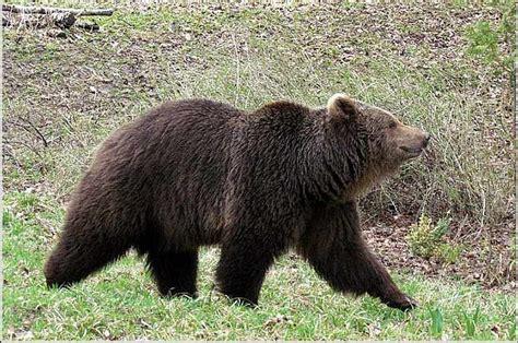 Lietuvā pēc ilgiem gadiem atkal manīts lācis   LA.LV