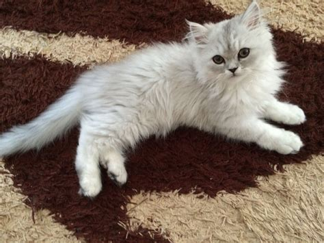 Gorgeous Silver Tipped Male Persian Cat  London, East