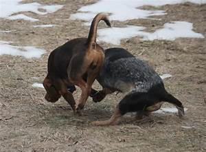 Pictures - BEAGLE BOYS Rabbit Hunting