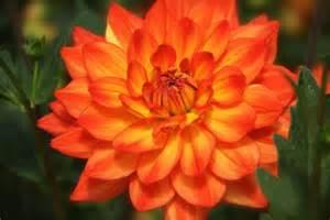 diy bridal bouquet orange dahlia colorful bright happy friday