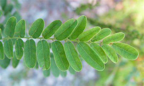 Amorpha fruticosa (false indigo-bush): Go Botany
