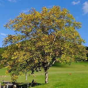 Walnussbaum Selber Pflanzen : ein nussbaum f r den garten ~ Michelbontemps.com Haus und Dekorationen