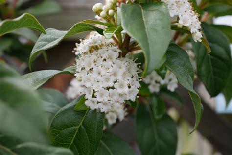 spring flowering shrubs parkers garden centres