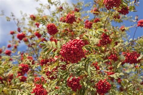 what deciduous tree has berries in winter the name of the tree with orange berries hunker