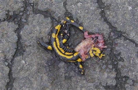 anzefahrer feuersalamander ausgestorben kirchhain
